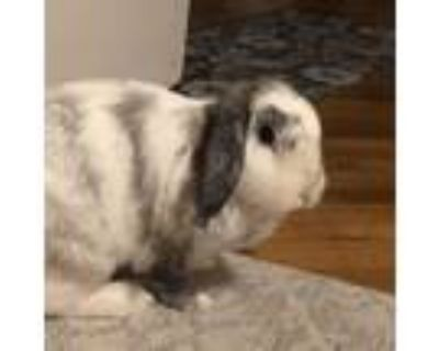 Adopt Layla a Other/Unknown / Mixed rabbit in Richmond, CA (31984514)
