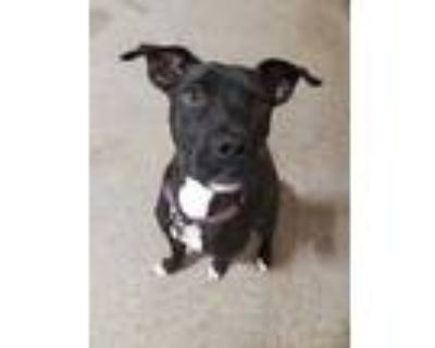 Adopt Cookie Rose a Black Labrador Retriever / Mixed dog in Fort Worth