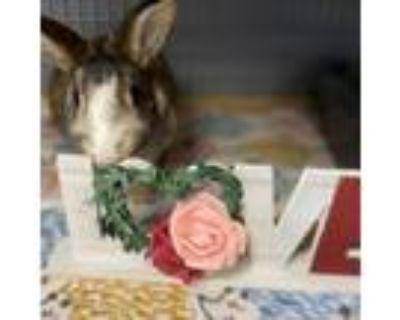 Adopt Turbo - Costa Mesa Location a Dutch / Mixed rabbit in Chino Hills