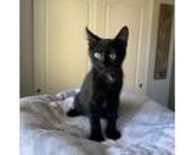 Sitka, Domestic Shorthair For Adoption In Temecula, California