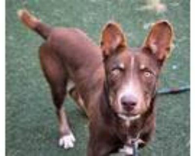 Adopt Deacon a Brown/Chocolate Retriever (Unknown Type) / Mixed dog in Conway