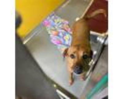 Adopt JOSIE MAE a Boxer, Labrador Retriever