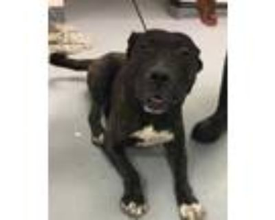 Adopt BOOGIE a Brindle American Pit Bull Terrier / Mixed dog in Los Lunas