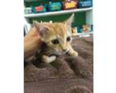 Adopt Fron a Orange or Red Domestic Shorthair / Domestic Shorthair / Mixed cat