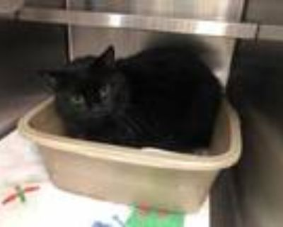 Adopt Oliver a All Black Domestic Longhair / Domestic Shorthair / Mixed cat in
