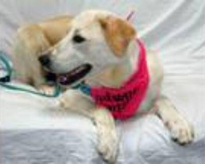 Adopt Adana a Labrador Retriever, Great Pyrenees