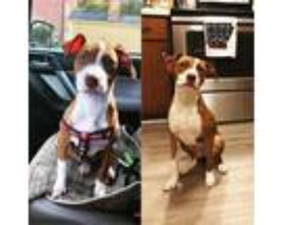 Adopt Moana a Red/Golden/Orange/Chestnut - with White American Pit Bull Terrier