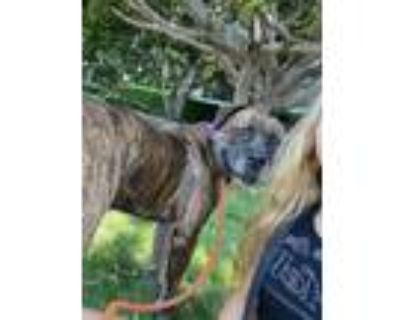 Adopt Romo a Mastiff
