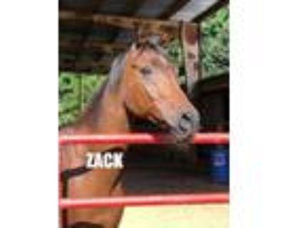 Adopt Zack a Bay Arabian horse in Cumming, GA (30187885)