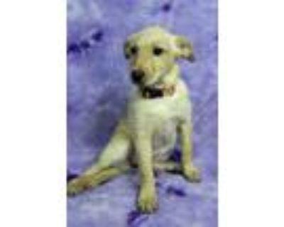 Adopt LILY a Labrador Retriever, Australian Cattle Dog / Blue Heeler