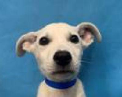 Adopt Lexo a Labrador Retriever, Black Mouth Cur