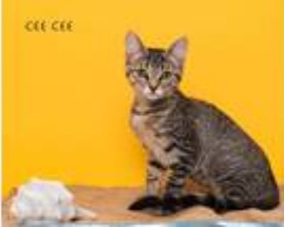 Adopt Cee a Domestic Shorthair / Mixed (short coat) cat in San Jacinto