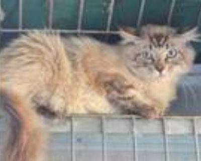 Adopt A591472 a Siamese / Mixed (medium coat) cat in Oroville, CA (32112696)