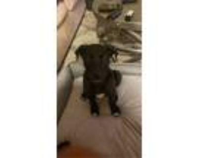 Adopt Tobi a Black - with White Labrador Retriever / German Shepherd Dog / Mixed