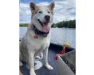 Adopt Sobaka a White Husky / Mixed dog in West Allis, WI (32026625)