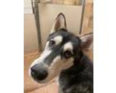 Adopt Falafel a Black Husky / Mixed dog in Fort Worth, TX (32011127)