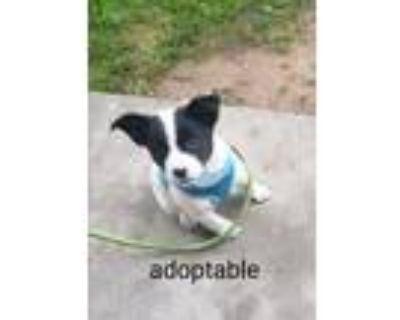 Adopt Sarafina a Husky, Mixed Breed