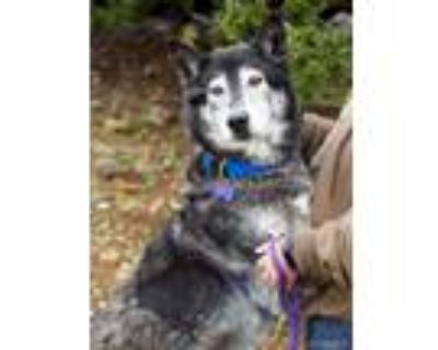 Adopt Shadow a Black - with White Husky / Shepherd (Unknown Type) / Mixed dog in