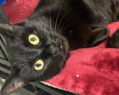 Moon Shadow - Domestic Shorthair - Young Adult Female