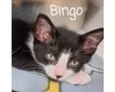 Adopt Bingo a White Domestic Shorthair / Mixed cat in Madisonville