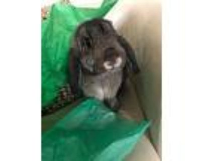 Pudding, Lop, Holland For Adoption In Houston, Texas