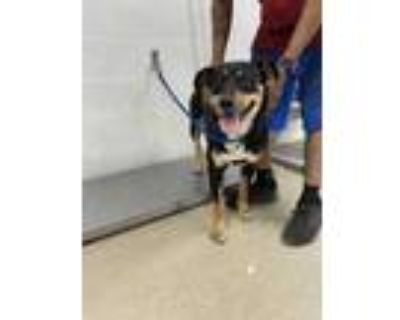 Adopt Stly a Black Rottweiler / Mixed dog in Fort Worth, TX (31530617)