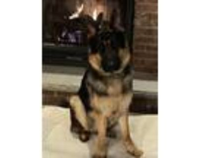Adopt Stryker a Black - with Tan, Yellow or Fawn German Shepherd Dog / Mixed dog