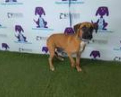 Adopt PRINCESS a Tan/Yellow/Fawn - with White American Pit Bull Terrier / Mixed