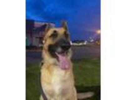 Adopt Roscoe a German Shepherd Dog