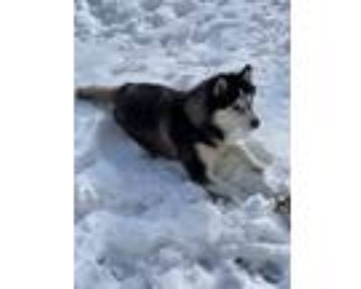 Adopt Rocco a Black - with White Husky / Mixed dog in Sparks, NV (31499561)
