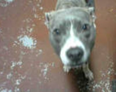 Adopt NESSA a Gray/Silver/Salt & Pepper - with White American Pit Bull Terrier /