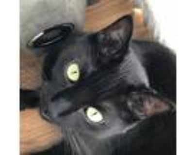 Adopt Boo a Black (Mostly) Domestic Shorthair / Mixed (short coat) cat in