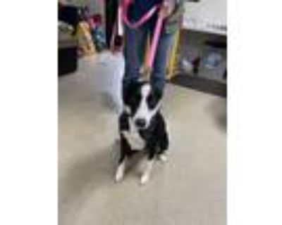 Adopt Julie a Black Border Collie / Mixed dog in Fort Worth, TX (31444793)