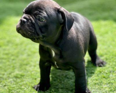 Asgard French Bulldog Puppies