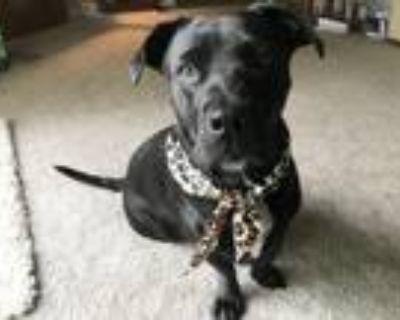Adopt SNOOKIE a Labrador Retriever, Basset Hound