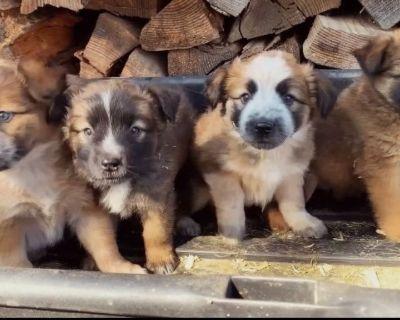 Cattledog Puppies!