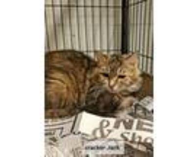 Adopt Crackerjack a Domestic Longhair / Mixed cat in Washington, DC (30330115)