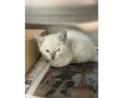 Adopt 47869596 a White Domestic Shorthair / Domestic Shorthair / Mixed cat in