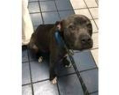 Adopt POET a Gray/Silver/Salt & Pepper - with White American Pit Bull Terrier /