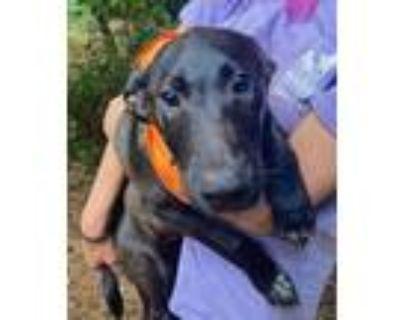 Adopt Zyrtec - Allergy meds litter a Black - with White Labrador Retriever /