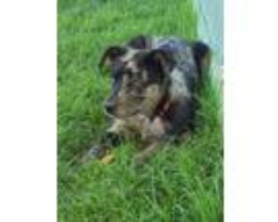 Adopt Trigger a Gray/Silver/Salt & Pepper - with Black Catahoula Leopard Dog /