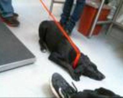 Adopt DAVE a Black Labrador Retriever / Border Collie / Mixed dog in