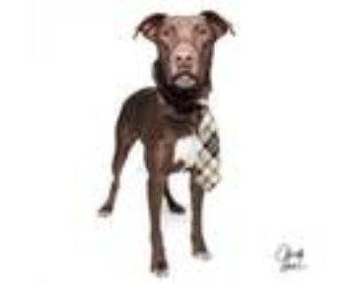 Adopt Coco a Labrador Retriever, Doberman Pinscher
