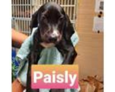 Adopt Paisly Tape Measure a Black Doberman Pinscher / Mixed dog in Mission