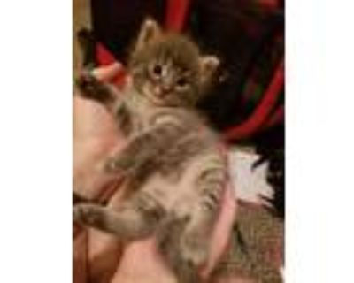 Adopt Jade aka Kitten Goveia 6 a Gray or Blue Domestic Shorthair / Mixed cat in