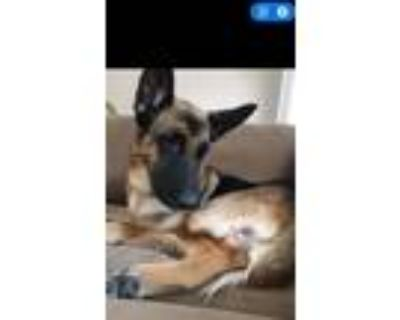 Adopt Sophie - COURTESY LISTING a Tan/Yellow/Fawn - with Black German Shepherd