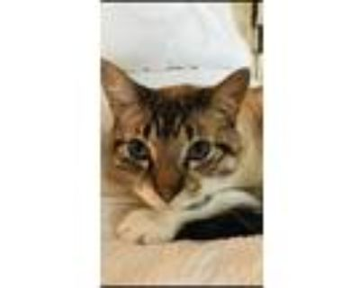 Adopt Moses a Tiger Striped American Shorthair / Mixed (short coat) cat in