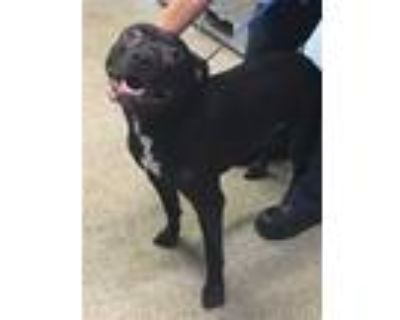 Adopt RIGBY a Black - with White American Pit Bull Terrier / Mixed dog in Fort
