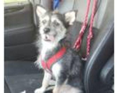 Adopt RoyRoy a Australian Terrier, Cairn Terrier
