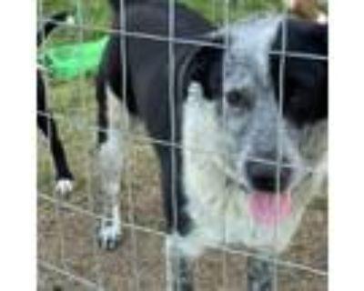 Adopt Beverly a Australian Cattle Dog / Blue Heeler